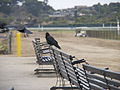 A Murder of Crows at Del Mar.jpg