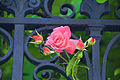 A Rose from Venice (4715976905).jpg