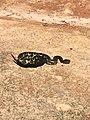 A Timber Rattlesnake.jpg