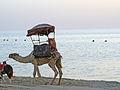 A camel passing by at the khobar half moon beach (2931856192).jpg