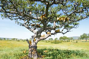 Serengeti National Park - A group of lions in a tree on the Serengeti prairies.