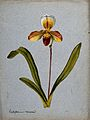 A lady's slipper orchid (Cypripedium aureum); flowering stem Wellcome V0043276.jpg