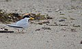 A least tern at the Nantucket National Wildlife Refuge, MA. Credit- Amanda Boyd-USFWS (5974496795).jpg