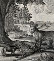 A leopard stands with one paw on a stag it has brought down Wellcome V0022970.jpg