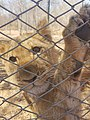 A lion cub at Victoria Fall's Lion Encounters.jpg