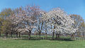 A pair of flowering trees looking north at the west of Wollaton Hall Park, Nottingham, England.jpg