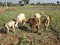 A photo on Sheep.JPG