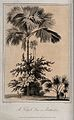 A talipot palm (Corypha umbraculifera) with two people and o Wellcome V0043217.jpg