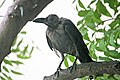 A very old House crow in Chennai.jpg