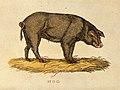 A wild hog (Sus scrofa). Coloured etching. Wellcome V0021492.jpg