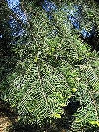 Abies concolor subspr lowiana 01.jpg