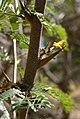 Acacia-collinsii.jpg