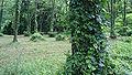 Acacia kannabe01s3200.jpg
