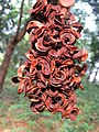 Acacia mangium seed pods at Peravoor.jpg