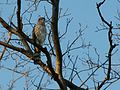 Accipiter striatus Lexington MD.jpg
