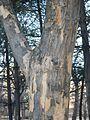 Acer buergerianum trunk.jpg