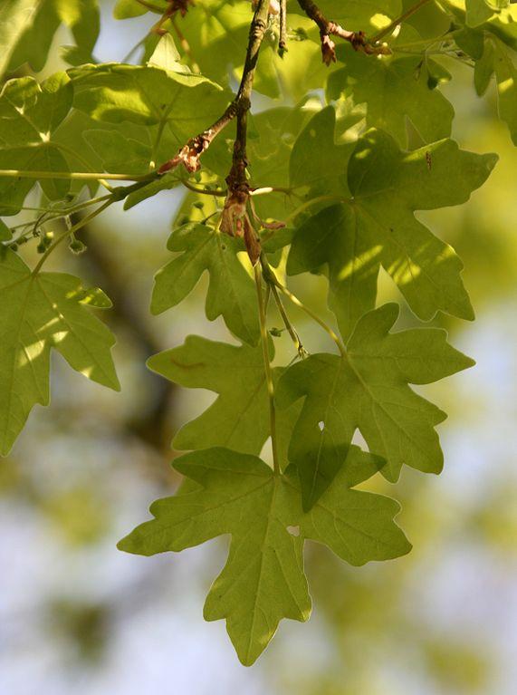 Javor poľný - listy