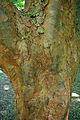 Acer griseum bark 1.jpg
