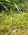 Acis autumnalis bud2.jpg