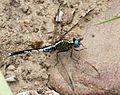 Acisoma variegatum 001916-1.jpg