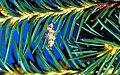 Acleris gloverana 0805021.jpg