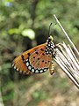 Acraea violae - Tawny Coster butterfly at Mayyil 2018 (9).jpg