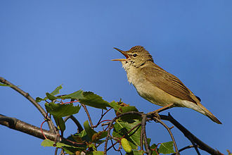 Reed warblers, such as this Blyth's reed warbler (Acrocephalus dumetorum), are now in the Acrocephalidae Acrocephalus dumetorum.jpg