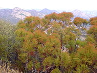 Adenostoma sparsifolium.jpg