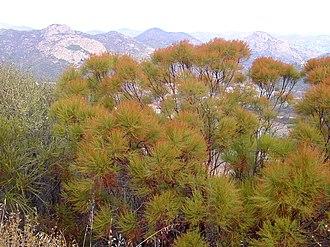 Adenostoma sparsifolium - Image: Adenostoma sparsifolium