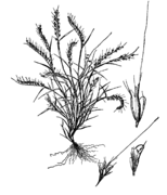 Aegopogon tenellus drawing.png