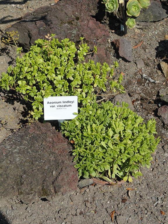 Botanischer Garten Italien Gardasee: File:Aeonium Lindleyi Var. Viscatum
