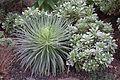 Aeonium valverdense (at right) - Botanischer Garten, Dresden, Germany - DSC08421.JPG
