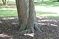 Aesculus hippocastanum in Christchurch Botanic Gardens 01.jpg