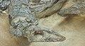 Aetosaurus ferratus head.JPG