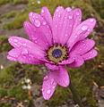 African Daisy (osteospermum jucundum).jpg