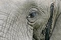 African Elephant (Loxodonta africana) eye close-up showing the Musth gland opening (16689303126).jpg