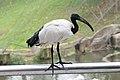 African Sacred Ibis profile (25084165323).jpg