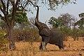African elephant (Loxodonta africana) reaching up 2.jpg