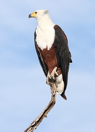 Sea eagle - Image: African fish eagle, Haliaeetus vocifer, at Chobe National Park, Botswana (33516612831)