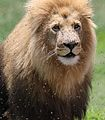 African lion, Panthera leo at Krugersdorp Game Park, South Africa (30493441223).jpg