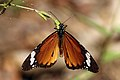 African monarch butterfly (Danaus chrysippus).jpg
