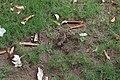 Agama femelle ponte d'œufs 09.jpg