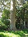 Agathis robusta (F.Muell.) F.M.Bailey (AM AK297417-1).jpg