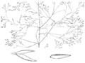 Agrostis perennans HC-1950.png