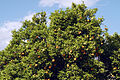 Agrumes Orangers CL J Weber06 (23649303726).jpg