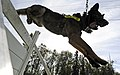Ajax, a German shepherd and military working dog assigned to the U.S. Air Force 673rd Security Forces Squadron, jumps over a hurdle during a training session at Joint Base Elmendorf-Richardson, Alaska, Aug. 26 130826-F-LX370-125.jpg