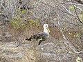 Albatross birds - Espanola - Hood - Galapagos Islands - Ecuador (4871590872).jpg