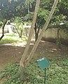 Albizia petersiana- Many-stem Albizia - Arusha Botanical Garden.jpg