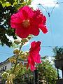 Alcea rosea - Tessinerplatz 2012-08-08 13-58-58 (WB850F).JPG