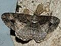 Alcis deversata - Дымчатая пяденица пятнистая (26041625367).jpg